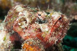 BD-140320-Baiicasag-2887-Scorpaenopsis-diabolus-(Cuvier.-1829)-[False-stonefish].jpg